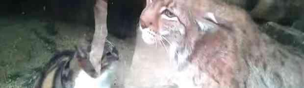 Evo šta se dogodi kada se susretnu domaća mačka i divlji ris (VIDEO)