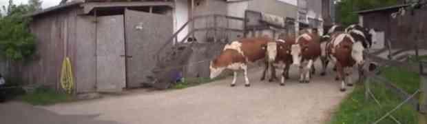 Pogledajte reakciju krava nakon što su spašene od klanja. Jednostavno predivno!