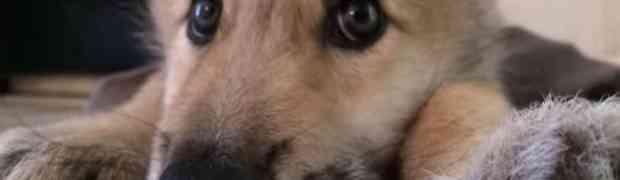 Ovako to izgleda kada štene vuka uhvati štucanje! (VIDEO)