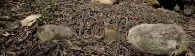 Ne jedna, ne dvije, ne 100 zmija. DESETINE HILJADA zmija u jednom gnijezdu