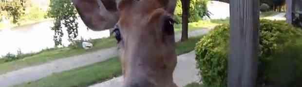 Kada je ugledao kamermana, jelen mu je prišao i napravio OVO! (VIDEO)