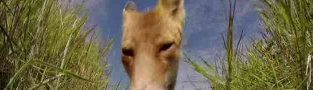 Nećete vjerovati šta je uradila ova super gladna i nasilna lisica! (VIDEO)