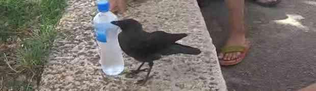 Pogledajte kako se pametna i jako žedna vrana obratila ljudima za pomoć (VIDEO)