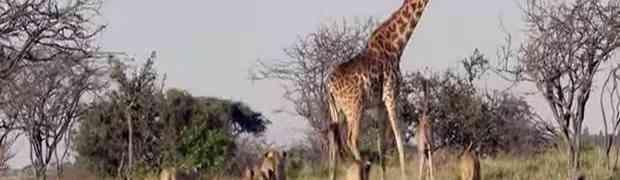 Čopor lavova napao malu žirafu no onda je došla velika mama da spasi stvar!