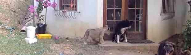 NA SMRT PREPLAŠEN: Pogledajte šta je mladunče lava napravilo ovom psu (VIDEO)