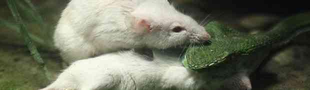 HRABROST SE NAGRAĐUJE: Miš izujedao zmiju otrovnicu braneći drugara! (FOTO)