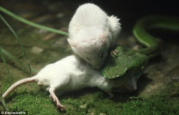 mis-izujedao-zmiju-da-spasi-drugara (2)