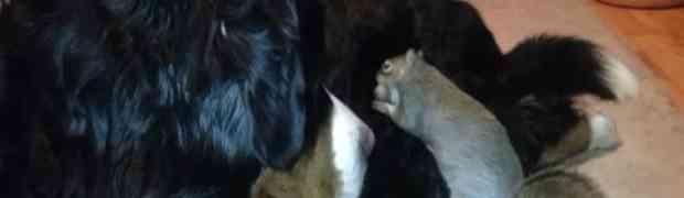 Nećete vjerovati šta je ova vjeverica pokušala da uradi velikom psu Bernardincu!