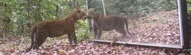 Postavio je veliko ogledalo u prašumi, a onda mu je prišao odrasli leopard. Nije mogao vjerovati šta će uslijediti...