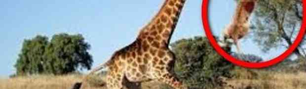 Gladna lavica je odlučila da sama napadne odraslu žirafu... BOLJE DA NIJE! (VIDEO)