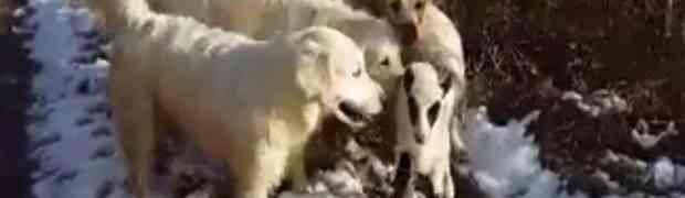 Jagnje se izgubilo u šumi, začuo se lavež šest retrivera pa tišina: Kada su se psi vratili, nešto je bilo čudno (VIDEO)