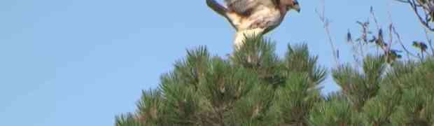 Jastreb kandžama uhvatio vjevericu i odnijeo je u gnijezdo. Kada je krenuo da je rastrga, dešava se nešto NEOČEKIVANO!