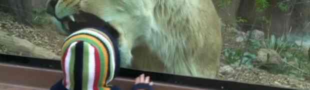 Jeziva scena iz zoološkog vrta: Pogledajte kako je lavica pokušala da pojede malo dijete (VIDEO)