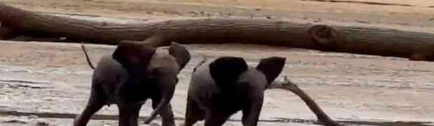 Maleni slonovi su preslatki kad nekud žure! (VIDEO)