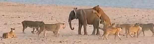 Malog slonića napalo je 14 gladnih lavica. Kada je bio savladan i pred samu smrt, događa se NEOČEKIVAN OBRAT! (VIDEO)