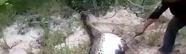Naišao je u šumi na ogromnu anakondu koja se jedva kretala. Kada joj je nožem rasporio stomak, ZANIJEMIO JE OD ŠOKA!
