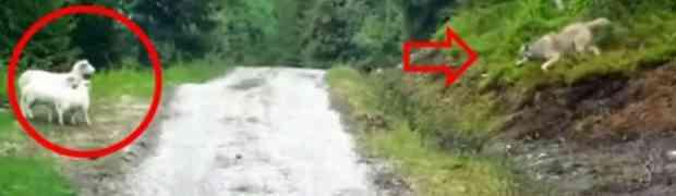 VUK je napao OVCU i dvoje jagnjadi, a onda se dogodilo nešto NEVJEROVATNO (VIDEO)