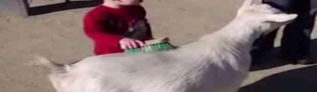 Snimala je svog 3-godišnjeg sina kako četkom češlja odraslu kozu. Ono što je uslijedilo na 0:03 dovešće vas do suza! (VIDEO)