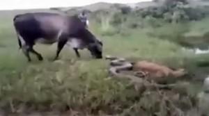 krava-zmija