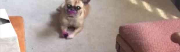 Ovaj mali pas je pronašao njen ruž za usne i uradio najluđu stvar! Pogledajte zašto je ovaj video nasmijao MILIONE! (VIDEO)
