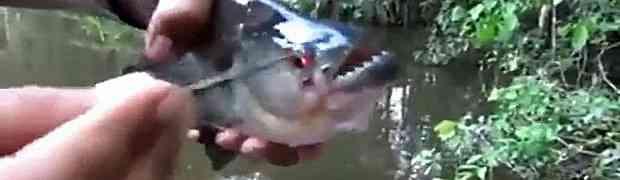 Ulovio je odraslu piranu u rijeci. Ono što je ova opasna riba uradila u narednim sekundama ostaviće vas bez riječi! (VIDEO)