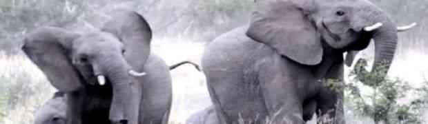 Najveći su, ali i najplašljiviji! Pogledajte kako je reagovalo krdo slonova kada su naletjeli na roj pčela!