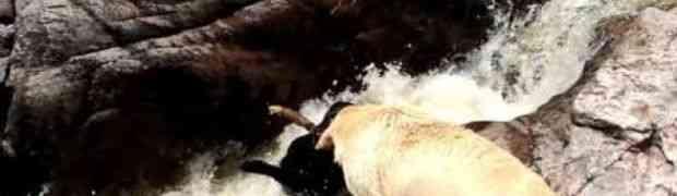 Pas je pao u nabujali brzak, a onda njegov drugar je uradio nešto što je oduševilo svijet (VIDEO)