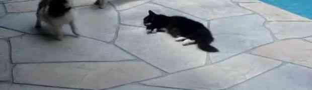 Mačka je odmarala pored bazena a psi su je uporno uznemiravali! Njena osveta će vas ODUŠEVITI!