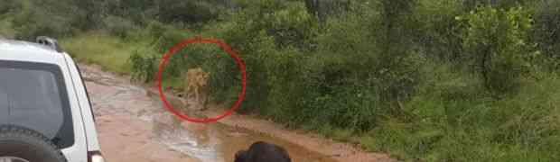 Gladni lav se ustrijemio na mlado tele i htio da ga zakolje. Ali OVO nije očekivao! (VIDEO)
