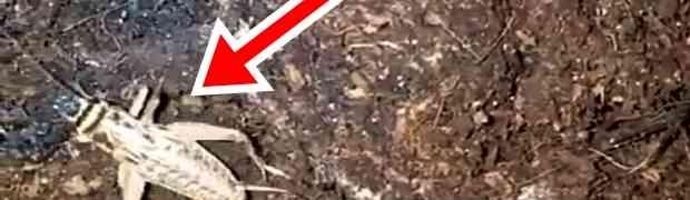 Snimao je skakavca kako hoda po zemlji. Ono što je uhvatio kamerom u narednim sekundama ostavilo ga je bez teksta! (VIDEO)