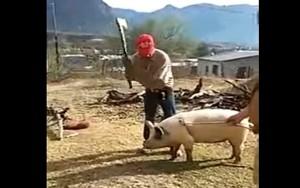 svinja-udarac