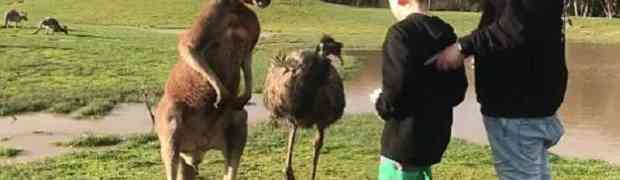 Odveo je sina u zoološki vrt da vidi životinje, a onda je dječaka odrasli kengur udario snažnom 'ljevicom' direktno u lice! (VIDEO)