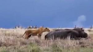 lavica-nilski-konj