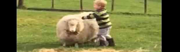 Snimao je svoje male sinove kako se u dvorištu igraju sa ovcama. A onda je jedan malac odlučio da sjedne na jednu i uslijedio je URNEBES!