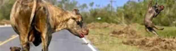 Dva Pit bulla napala bika pa životom platila svoju grešku (VIDEO)
