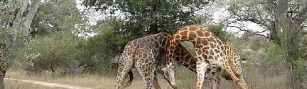 OKRŠAJ DIVOVA: Pogledajte kako se dvije muške žirafe bore za ženku! (VIDEO)