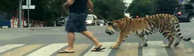 NIŠTA NEOBIČNO samo tip koji usred grada prelazi cestu i na povocu vodi odraslog tigra... (VIDEO)