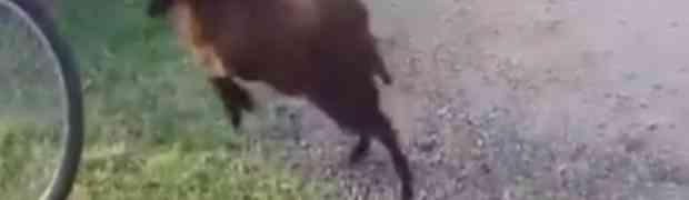 Ovo je najluđi ovan kojeg ste ikad vidjeli (VIDEO)