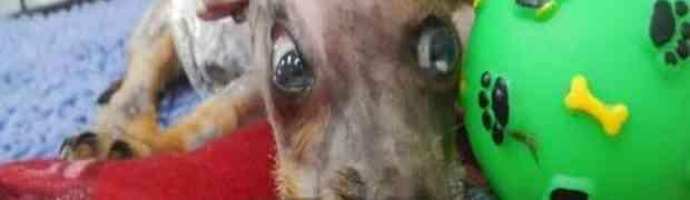 Cukica je uzeo vlasnikov mobitel i krenuo da ga žvaće, a ovaj monstrum sasuo kantu vrele vode na njega (VIDEO)