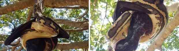 Snimak od kojeg se diže kosa na glavi: Pogledajte kako piton na drvetu pokušava progutati DIVOVSKOG ŠIŠMIŠA! (VIDEO)