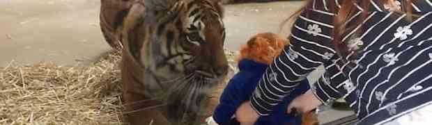 Djevojčica u zoološkom vrtu postavila plišanu igračku ispred kaveza odraslog tigra. Pogledajte njegovu reakciju... (VIDEO)