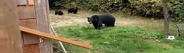 Vidio je medvjedicu i dva medvjedića kako se igraju u njegovom dvorištu, a onda je izašao vani i svojim potezom nasmijao MILIONE (VIDEO)