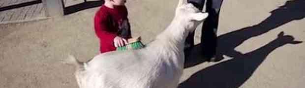 Dječak je uzeo četku i njome počeo četkati kozu... Ono što će uslijediti nasmijalo je INTERNET (VIDEO)