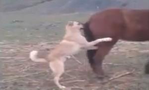pas-konj