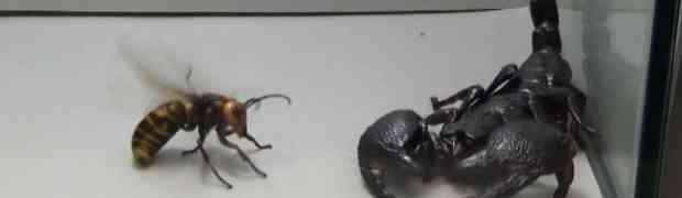Ubacili su ogromnog japanskog stršljena ubicu u akvarij, zajedno sa carskom škorpijom. Ovo ćete gledati u JEDNOM DAHU!