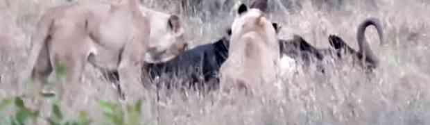 Snimali su dva gladna lava kako jedu gnua koji je nepomično ležao na zemlji. Dobro pratite šta će uslijediti na 00:25! (VIDEO)