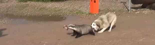 Pas je napao i ujeo jazavca u zoološkom vrtu... nakon par sekundi shvatio je KAKVU GREŠKU JE NAPRAVIO! (VIDEO)