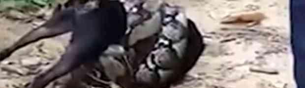 Piton se omotao oko psa i počeo ga daviti, a onda su pojavili ONI! (VIDEO)