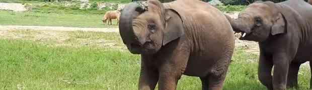 Ovu bebu slona drma opasna groznica Svjetskog prvenstva. Nećete vjerovati šta radi s loptom! (VIDEO)
