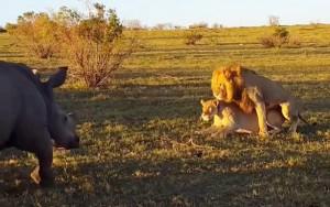 lavovi-nosorog